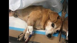 Cane paralizzato e abbandonato salvato da un destino terribile