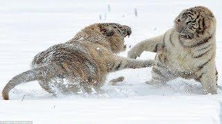 борьба между двумя белыми тиграми - кто победит- дикая жизнь, слон, крокодил, леопард, Лев...