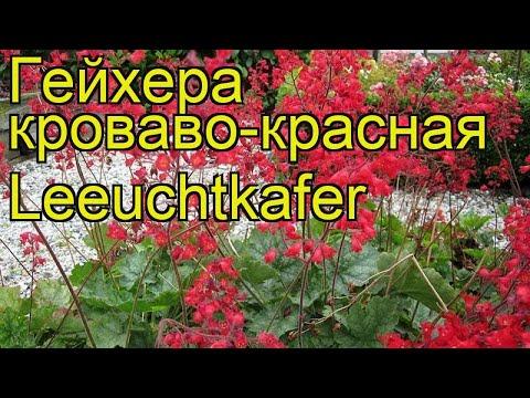 Гейхера кроваво-красная Лехткафер. Краткий обзор, описание heuchera sanguinea Leuchtkafer