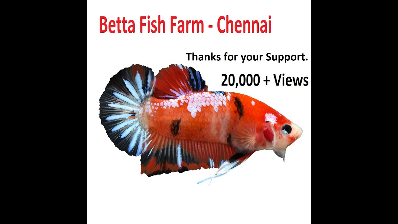 Super Low Betta Fish Farm Chennai (In Tamil).