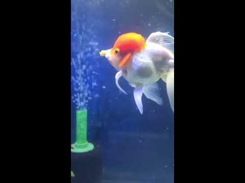 WHAT I FEED MY FANCY ORANDA GOLDFISH?! GREEN BEANS? FANCY GOLDFISH EATS VEGGIES! #fancygoldfish