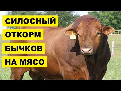 Силосный откорм бычков на мясо | КРС | Мясное скотоводство | Откорм крупного рогатого скота силосом