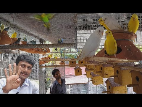 Budgies Parrot And Exotic Bird Breeding Farm / Bird Breeding Earning Logic. thumbnail