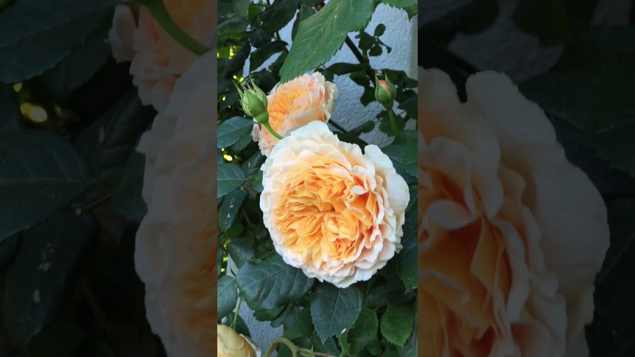 Englische Rose 'Crown Princess Margareta' im Schaugarten GALAROSA