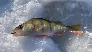Зимняя рыбалка 2021 ловим окуня на небольшом пруду