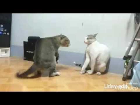 Jingat Cats Jing Jing Jingat