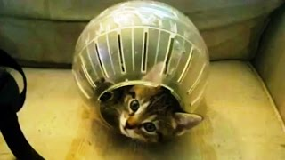 cats vs hamster balls compilation    cfs