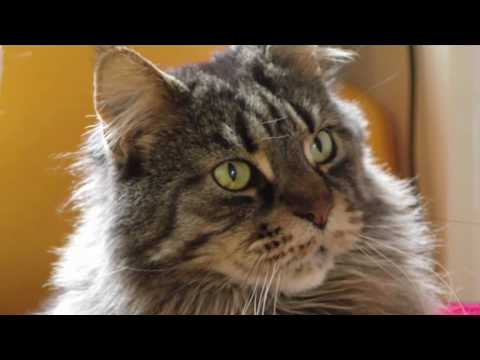 Thumbnail for Cat Video Maine Coon Cats Gentle Giants