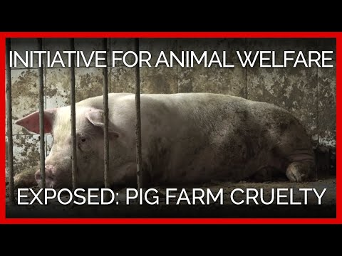 Footage From Cruel Pig Farms Exposes the
