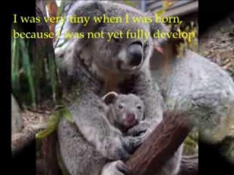 Koala Facts - YouTube
