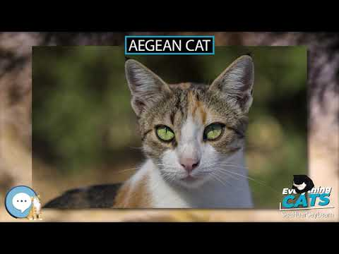 Aegean cat 🐱🦁🐯 EVERYTHING CATS 🐯🦁🐱
