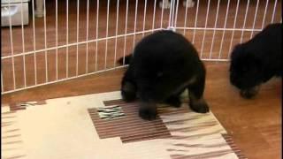 Puppies Tibetan Mastiff - Щенки тибетского мастифа (2).mp4