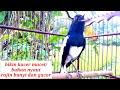 Kacer Gacor Ngeplong Sangat Cocok Buat Pancingan Kacer Macet Bahan Malas Bunyi Jd Rajin Bunyi Gacor  Mp3 - Mp4 Download