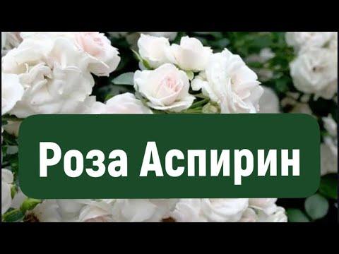 Роза Аспирин, Roses Garden Of Eden!