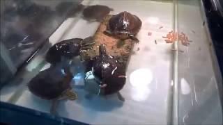 久々の動画になってしました!動画のカメ達は マレーハコガメです!ベト...