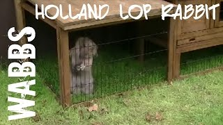 Lop Rabbit Likes His Homemade Outside Hutch