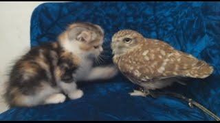 一見鍾情 小貓與貓頭鷹可愛互動爆紅 大千世界 貓頭鷹寵物咖啡廳 療癒喵星人 貓拳 蘇格蘭摺耳貓 可愛動物 熱門旅遊