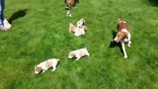 Brittany Puppies First Day Outside (Ruby's Litter)
