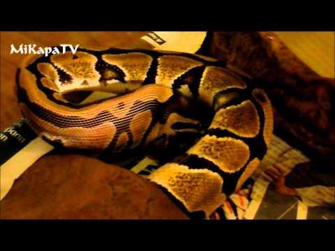 ~MiKapa Reptiles Greece - Feeding Normal Ball Python~