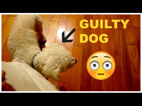 GUILTY DOG WON'T ADMIT TO PEEING IN THE HOUSE!