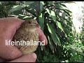 How I sex my coturnix quail.