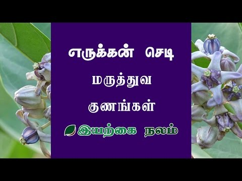 Erukku Plant | Erukku Plant Benefits | Erukkam Poo | | எருக்கன் | எருக்கன் செடி