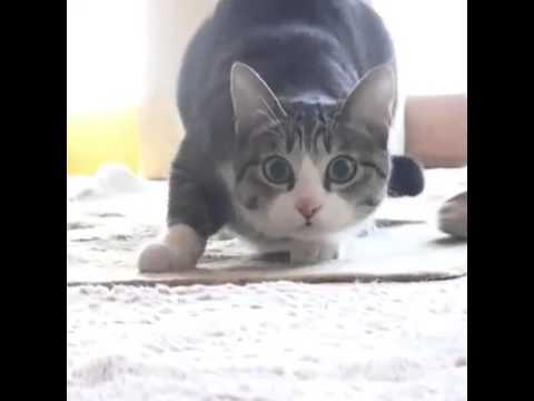 Кошка виляет задом перед прыжком
