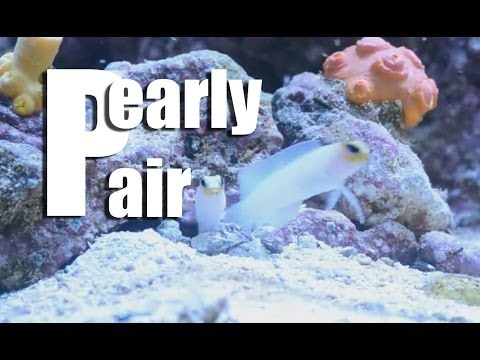 Yellow Head Pearly Jawfish Pair