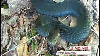В ярославских лесах активизировались змеи