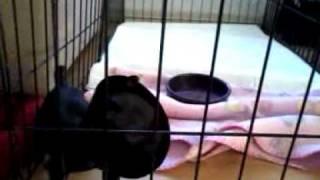 Sassy The Baby Pug