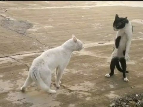 KUNG-FU CAT: Angry feline fighter shows off moves