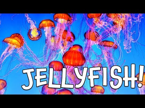 Jellyfish!  Learn About Jellyfish By Kids Learning Videos