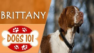 Dogs 101  BRITTANY  Top Dog Facts About the BRITTANY