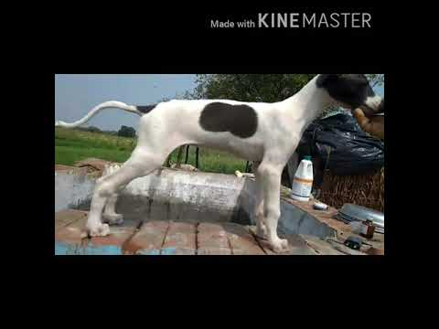 Rampur Hound puppy for sale top quality