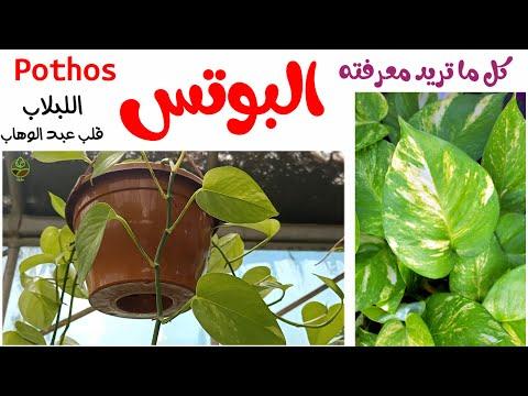 نبات البوتس نبات زينة راقي و صبور كل ما تريد معرفته حول Pothos اللبلاب او قلب عبد الوهاب Youtube