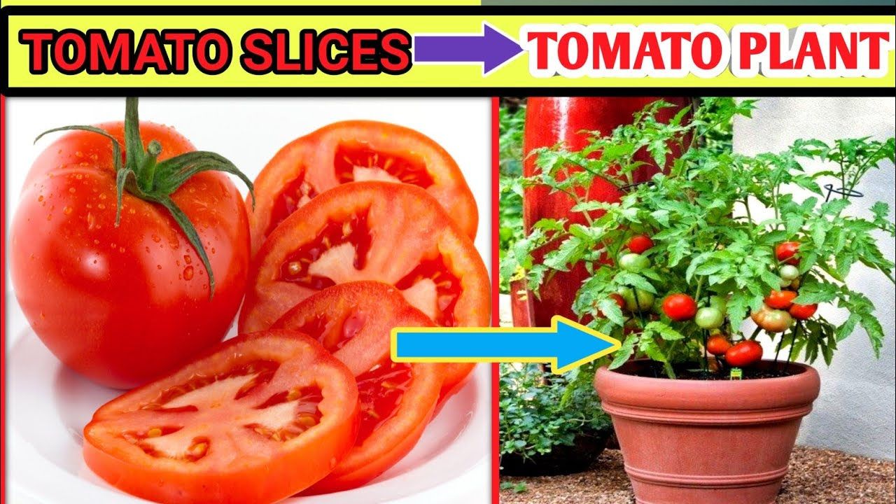 How To Grow Tomatoes At Home Grow Tomatoes In Pot From Tomato Tomato Plant At Home In Pot Ima Buds