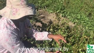 видео Описание лучших сортов крыжовника
