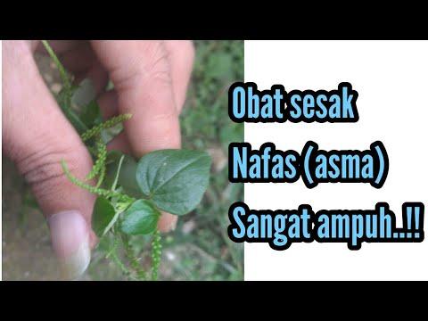 manfaat-daun-sirih-cina-untuk-asma-/sesak-napas