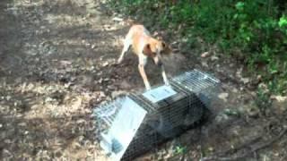 Red-Tick Coon Hound