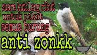 Download Lagu Suara pikat kutilang ribut+kolibri+prenjak untuk mikat semua burung mp3