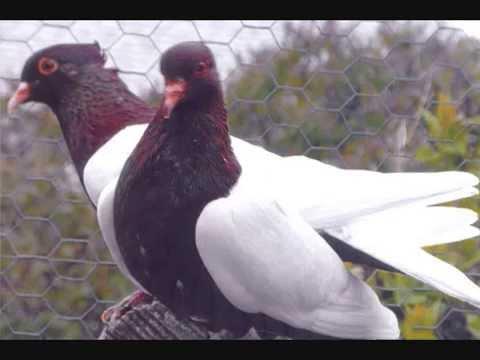Pigeon Breed  Archangel Pigeons Various Colors & Patterns  WWW.DonsPigeons.Com