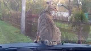 как мой кот ездит на дачу