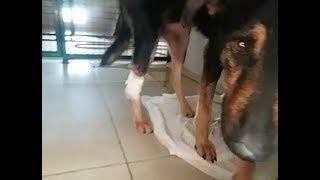 Бакс-аферист: сначала умирает, потом резко оживает  Ошейники для собак  У Тузика опухла ножка