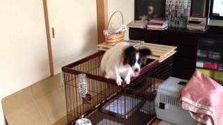 ケージ内でジャンプをしている我が家の愛犬パピヨンのスピカ(1歳)です...