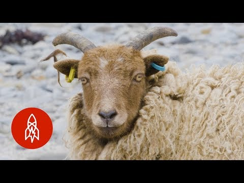 Why These Scottish Sheep Eat Seaweed