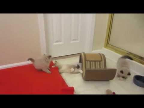 Crazy Hyper Little Ragdoll Kittens