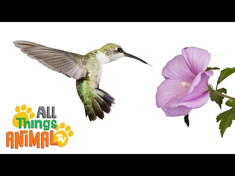 HUMMINGBIRDS: Animals for children. Kids videos. Kindergarten   Preschool learning