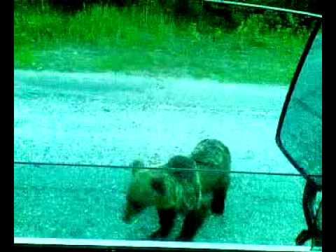 Медведь на дороге(Russian Bear On The Road) .mp4