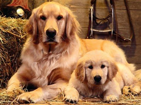 Лабрадор: отзывы владельцев о собаках этой породы