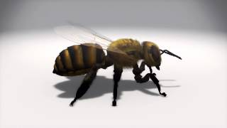 'Zombie bee' parasite spreads across US thumbnail